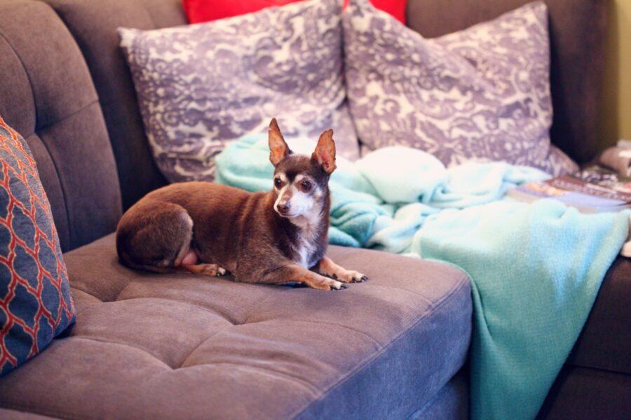 cane divano orecchie