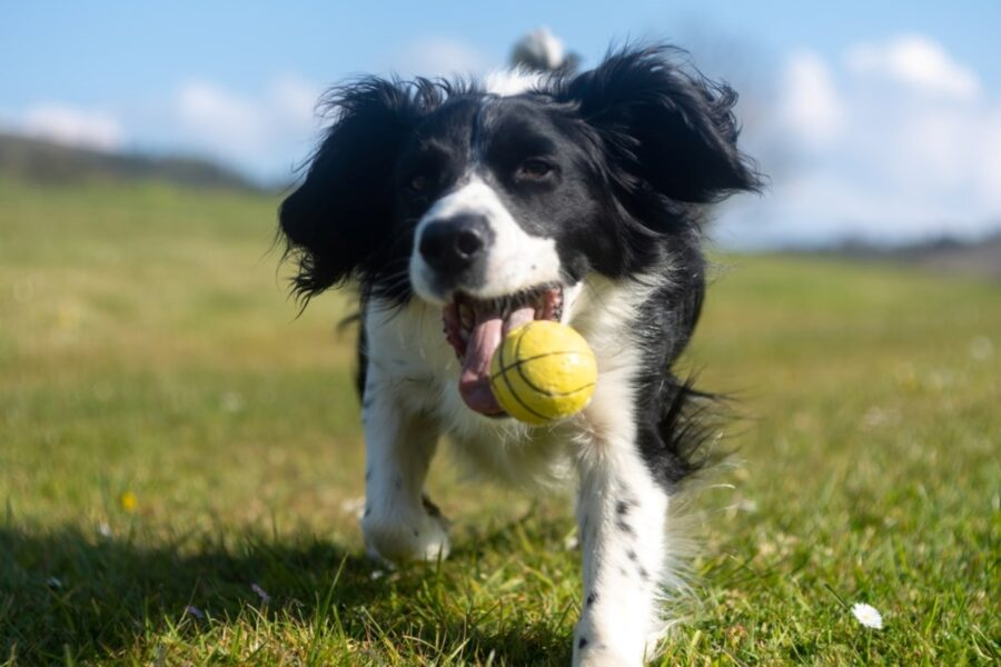 cucciolo pallina tennis