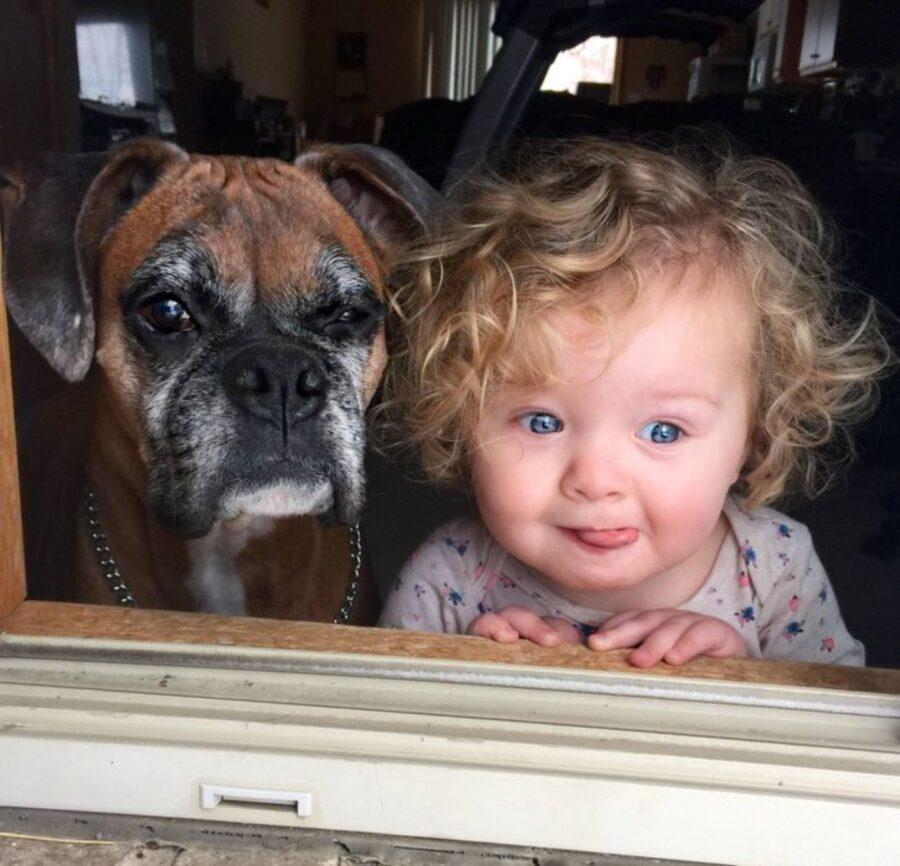 cane boxer piccolo
