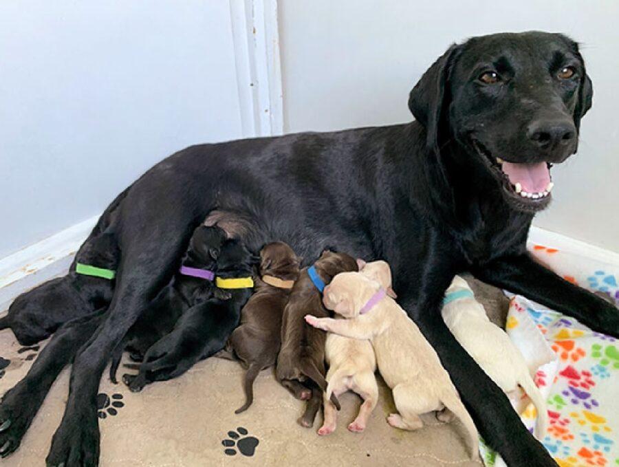 cane labrador nero con cuccioli