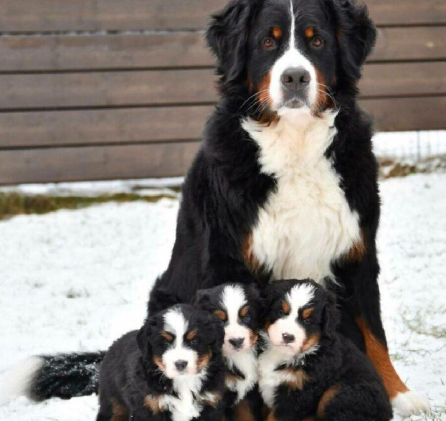 cane neve pelo nero e bianco
