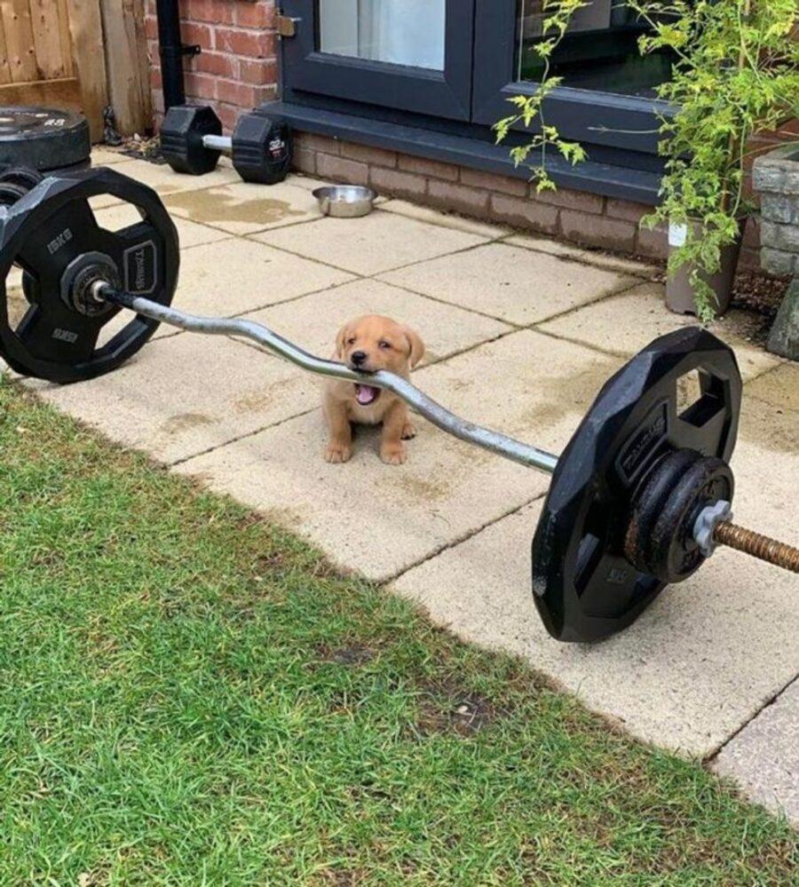 cane solleva peso