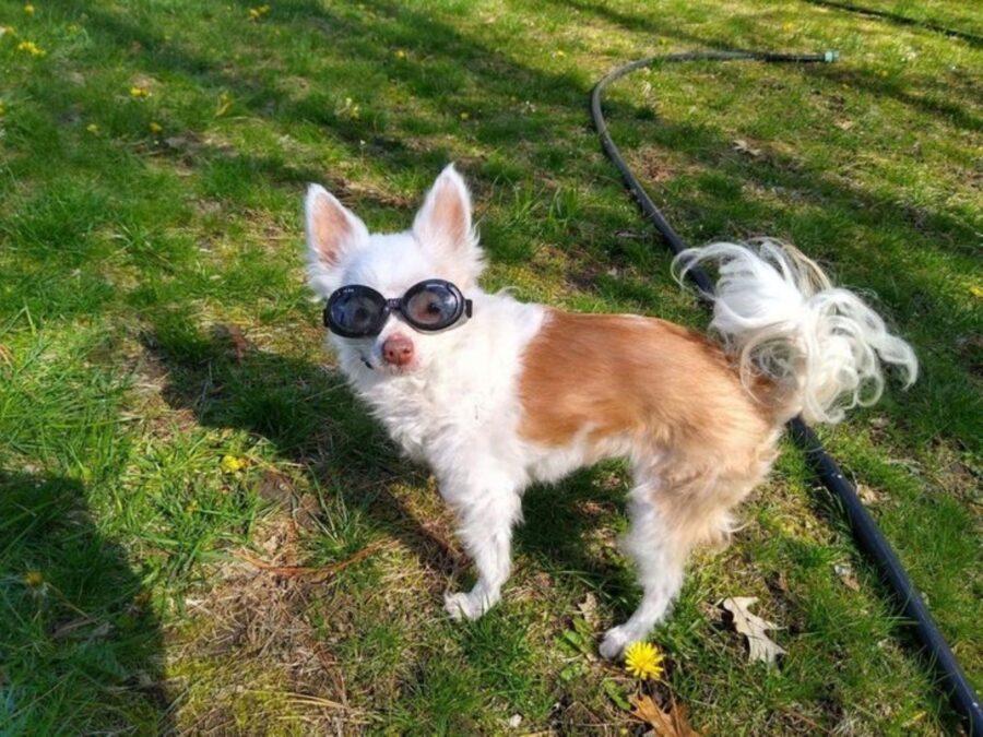 cane occhiali peloso