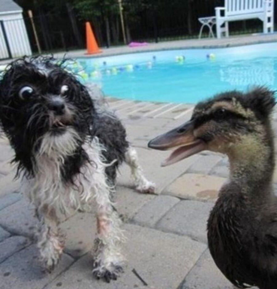 cane vede anatra
