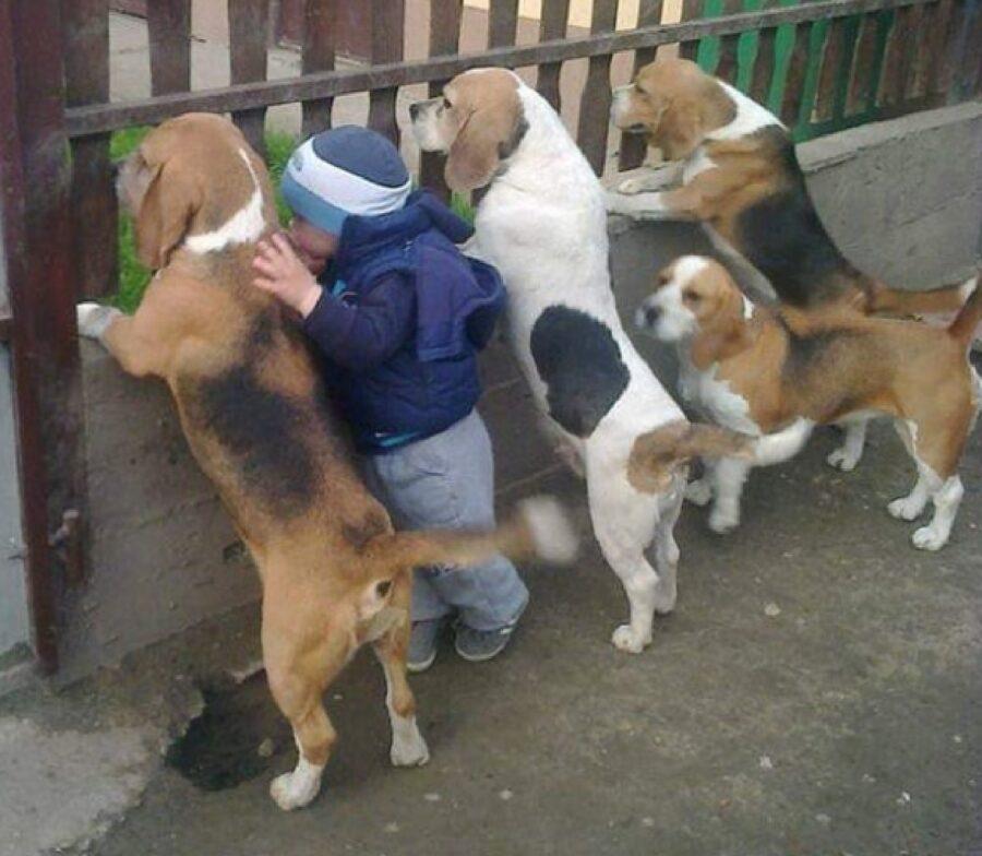 cani beagle bambino recinzione