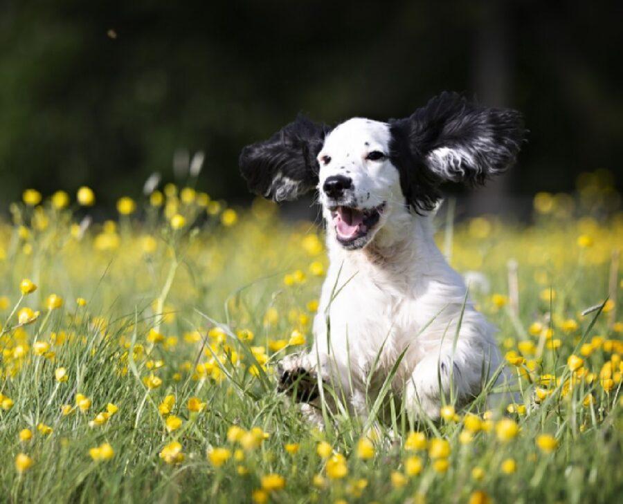 cane corre in campo di fiori
