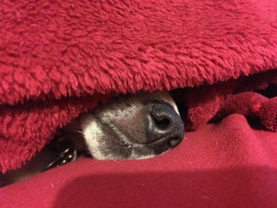 cucciolo muso coperte