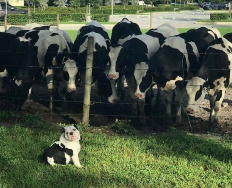 cane intruso fra le mucche
