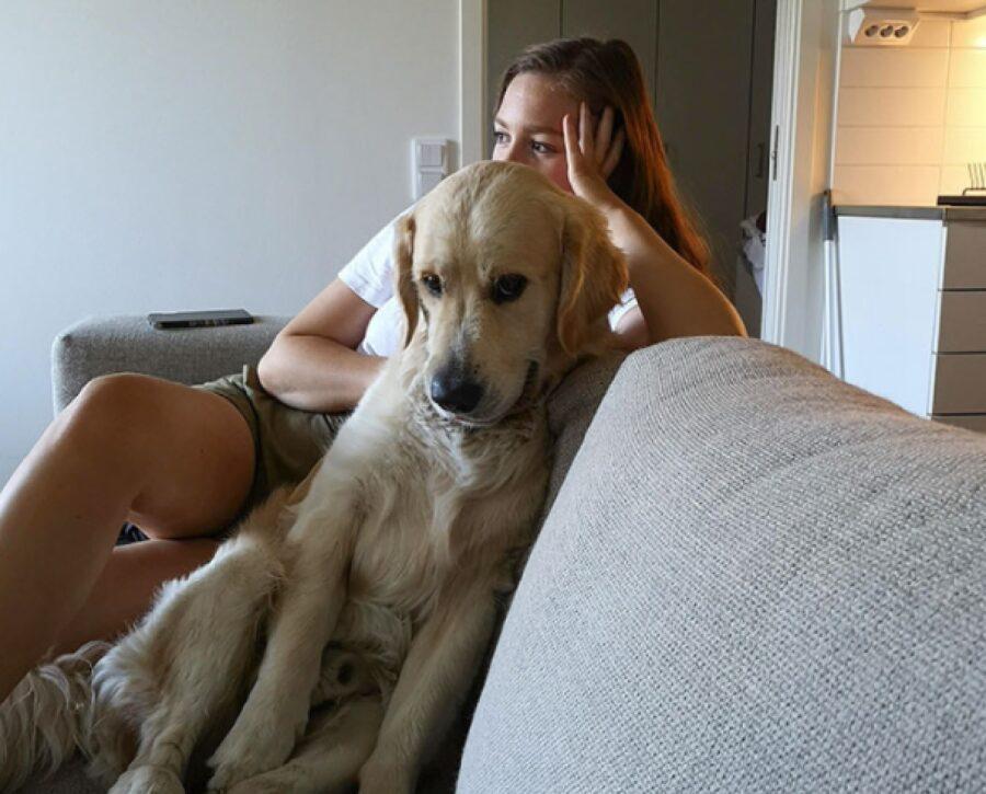 cane golden retriever sguardo intenso