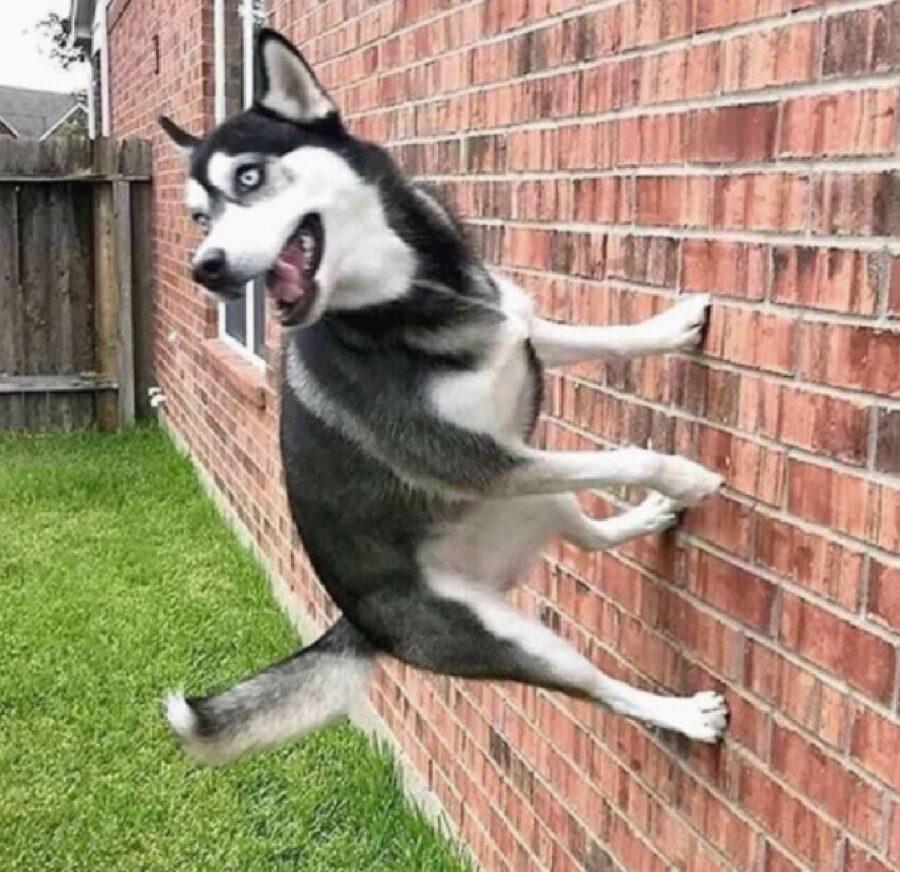 cane si arrampica muro mattoni