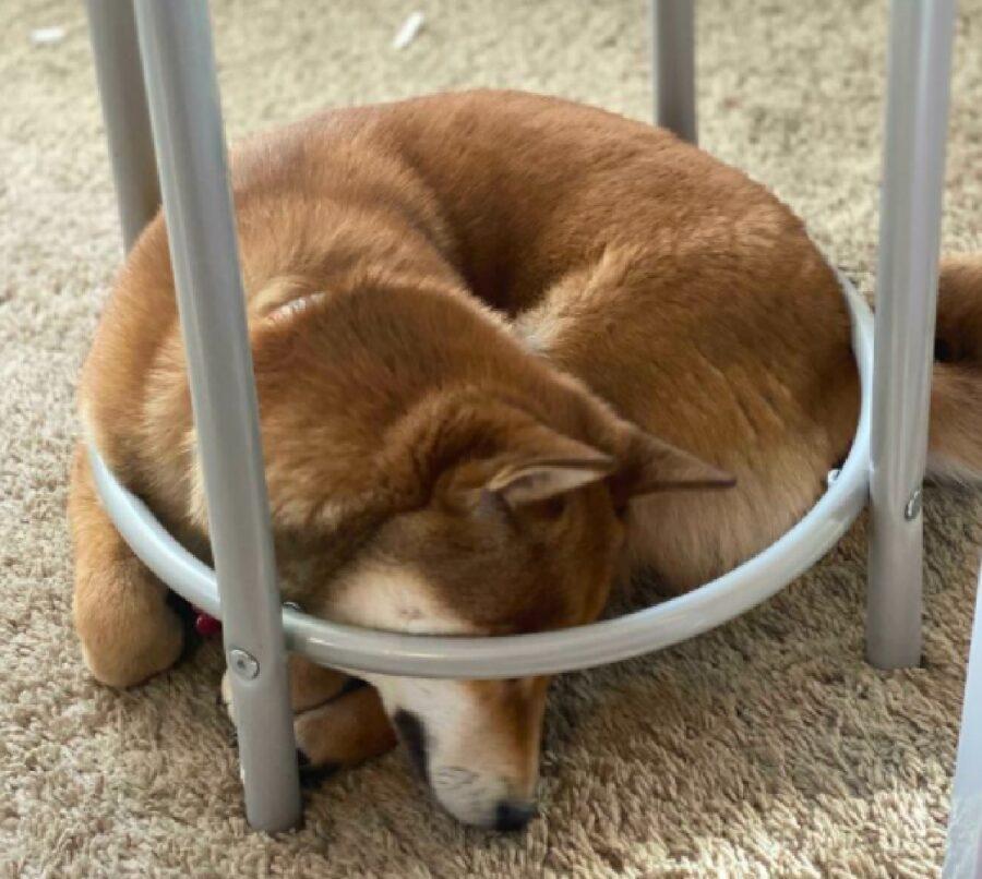 cane dentro ferro sedia