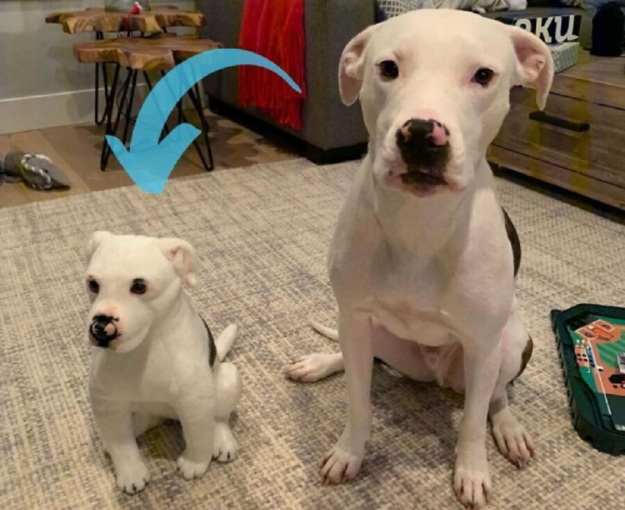 cane pitbull bianco amico