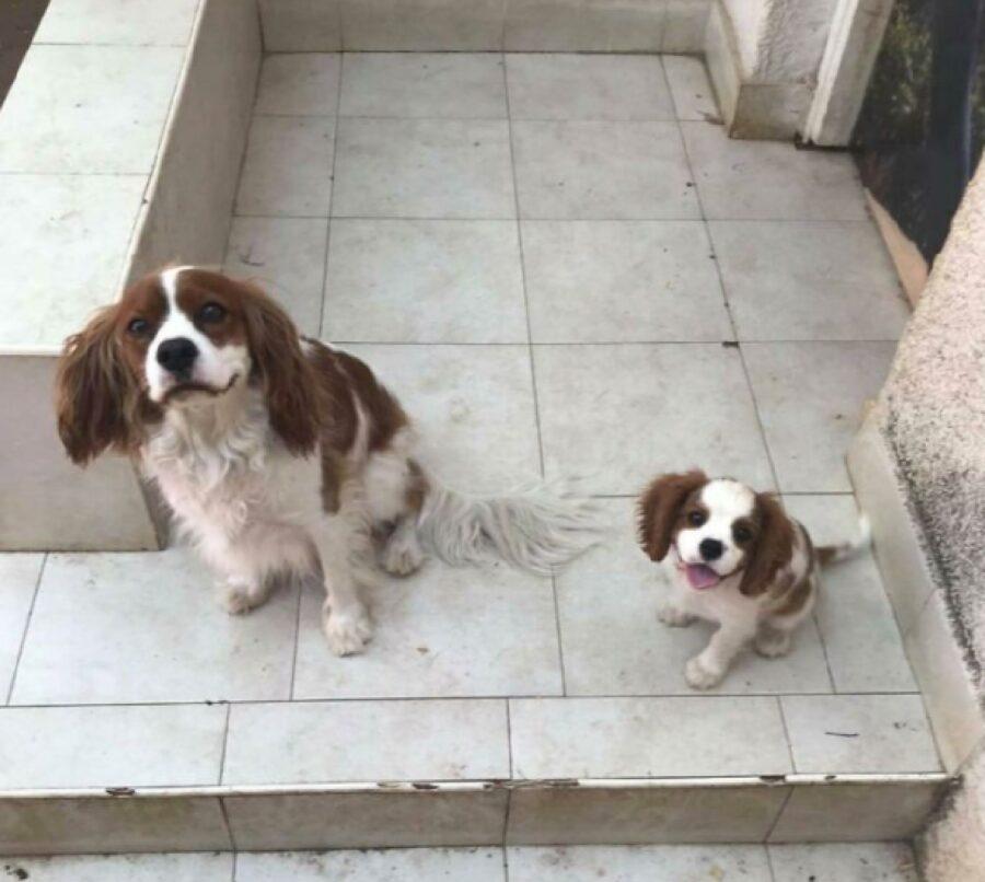 coppia cani cocker spaniel