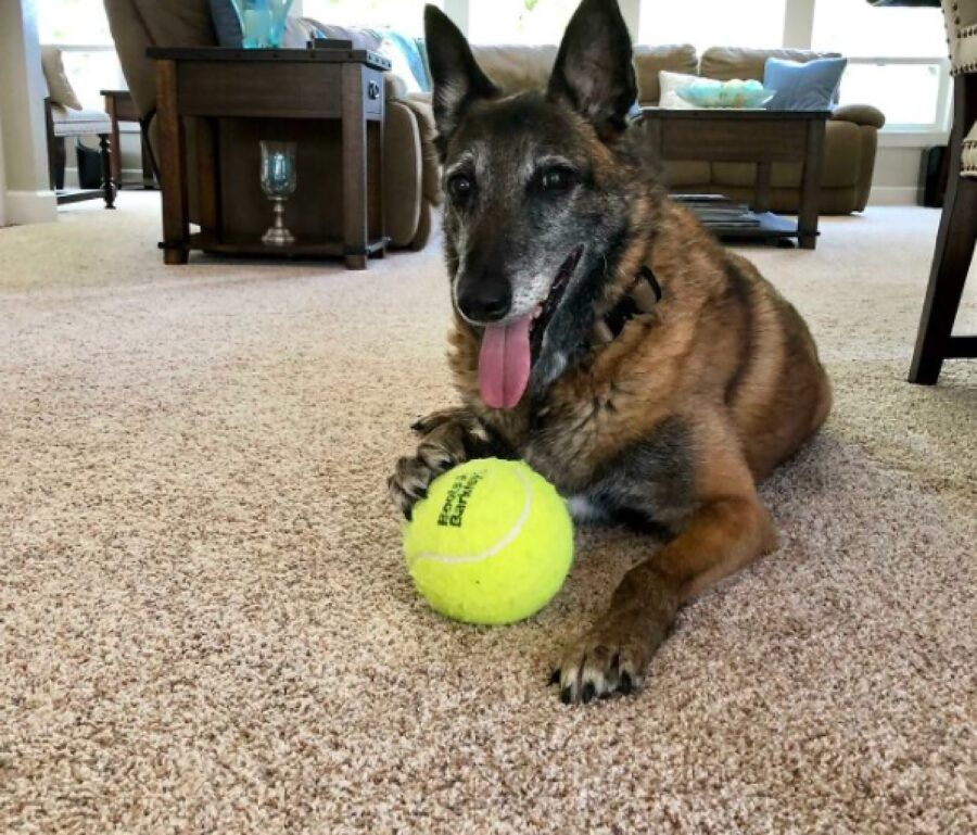 cane pastore pallina tennis