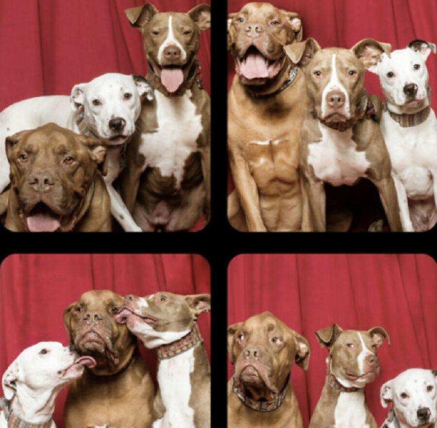 cani gruppo pitbull sorriso
