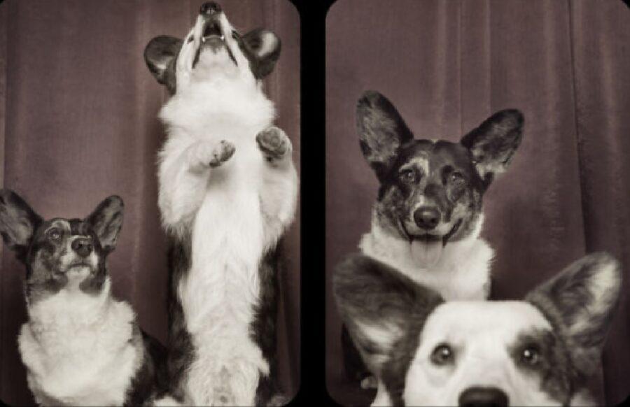cani corgi coppia spettaolo
