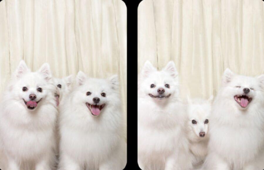 cani bianchi pelo lungo