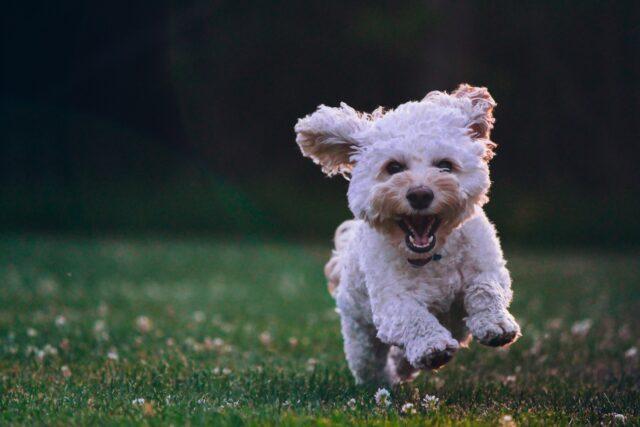 cane felice correre