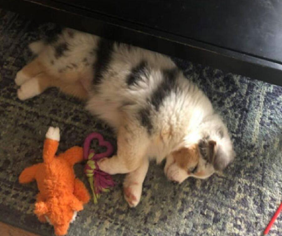 cucciolo si addormenta durante servizio