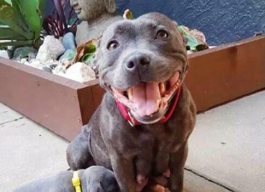 pitbull felice sorriso evidente