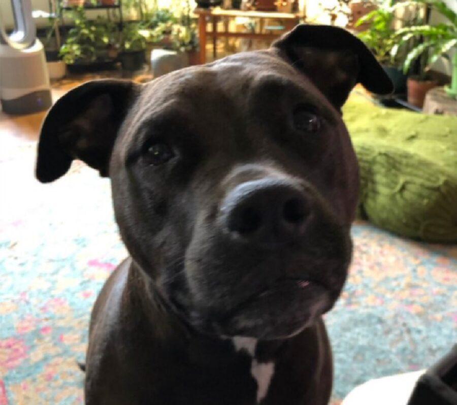 cane pitbull nero occhi grandi