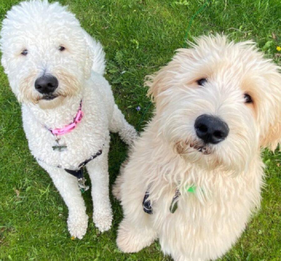 coppia di cani bianchi