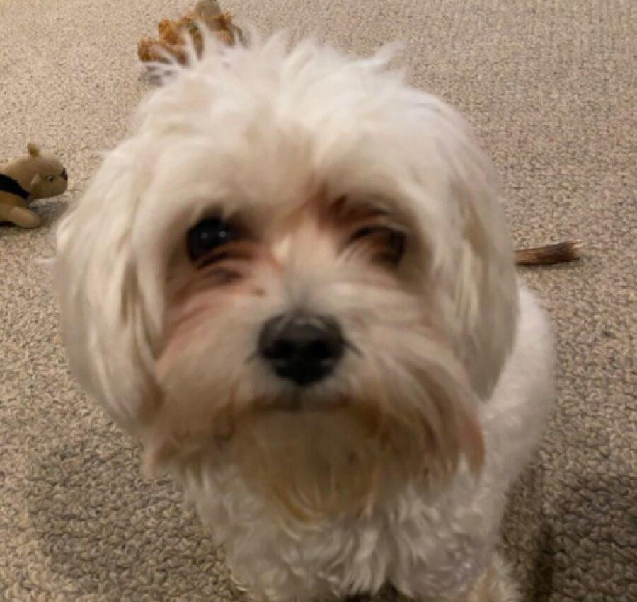 cane barboncino sguardo fisso