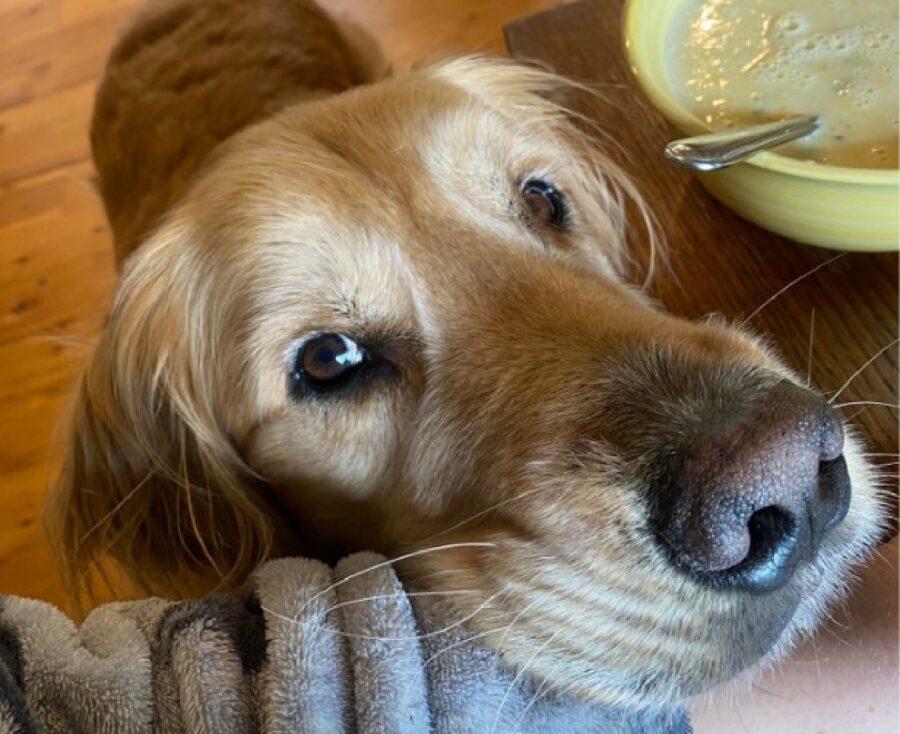 cagnolino golden poggia mento braccio