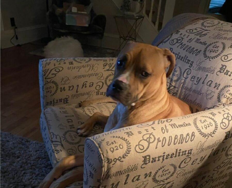 cane pitbull seduto poltrona
