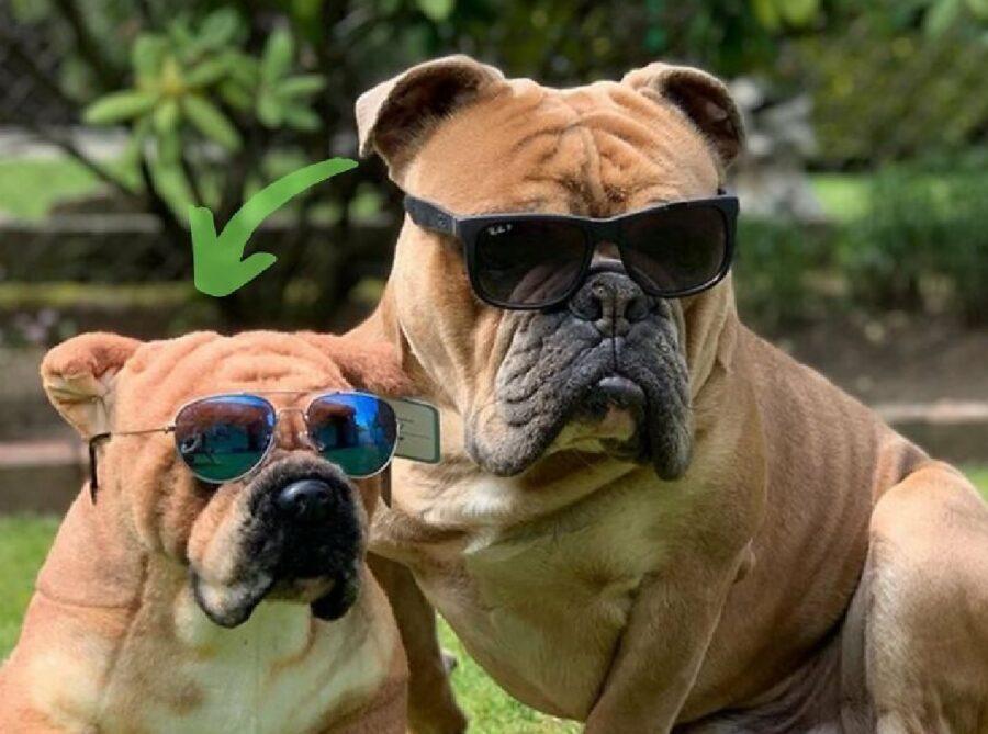 cane bulldog occhiale