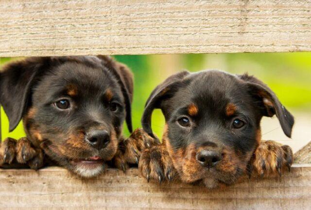 cani che si accorgono di avere un fratello identico