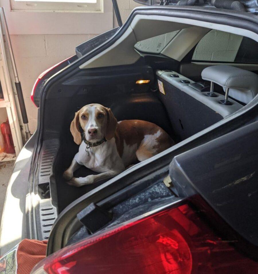 cane auto cofano