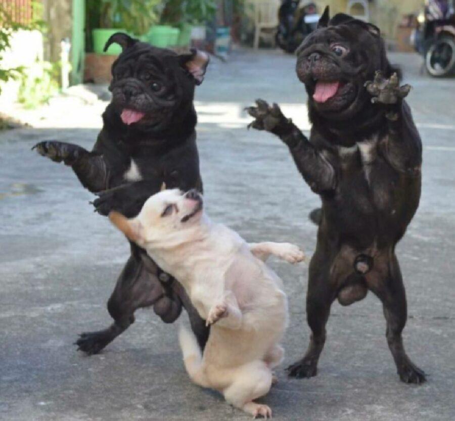 cani ballano in mezzo strada