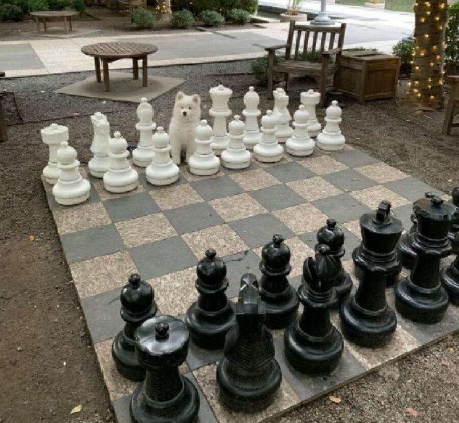 cane bianco gioca scacchi