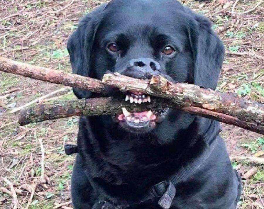 cane morde bastone denti