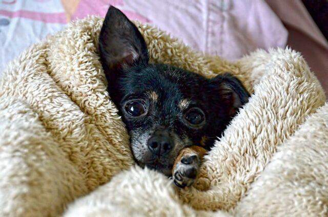 cane cucciolo coperta