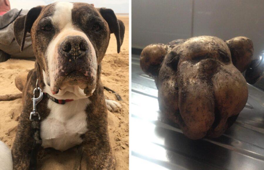cane assomiglia tanto a patata