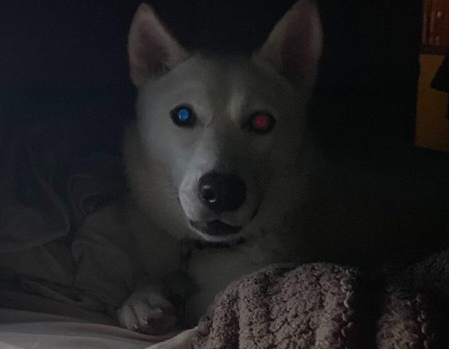 cane husky occhi strani
