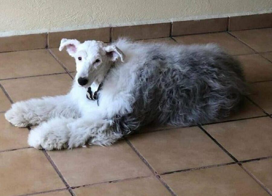 cane con testa rasata
