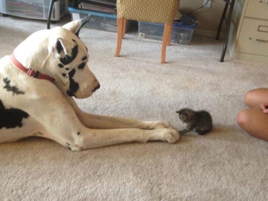 cucciolo gioca micetto