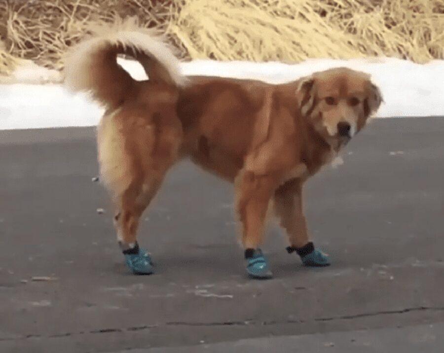 cane golden con le scarpette