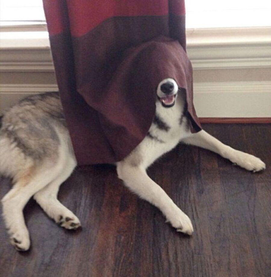 cane tenda testa