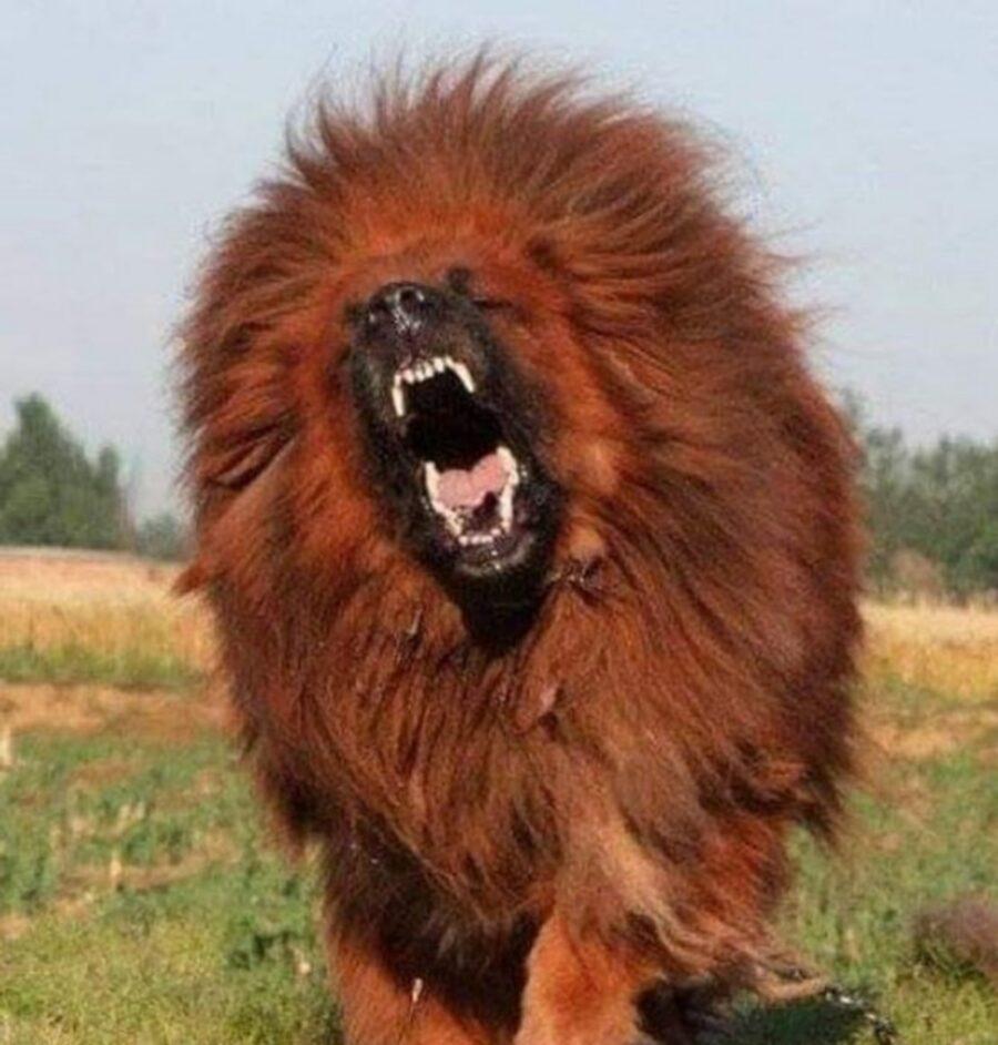 cane sembra leone