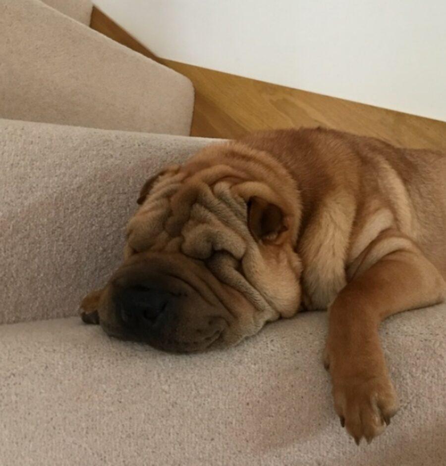 cucciolo scale dorme