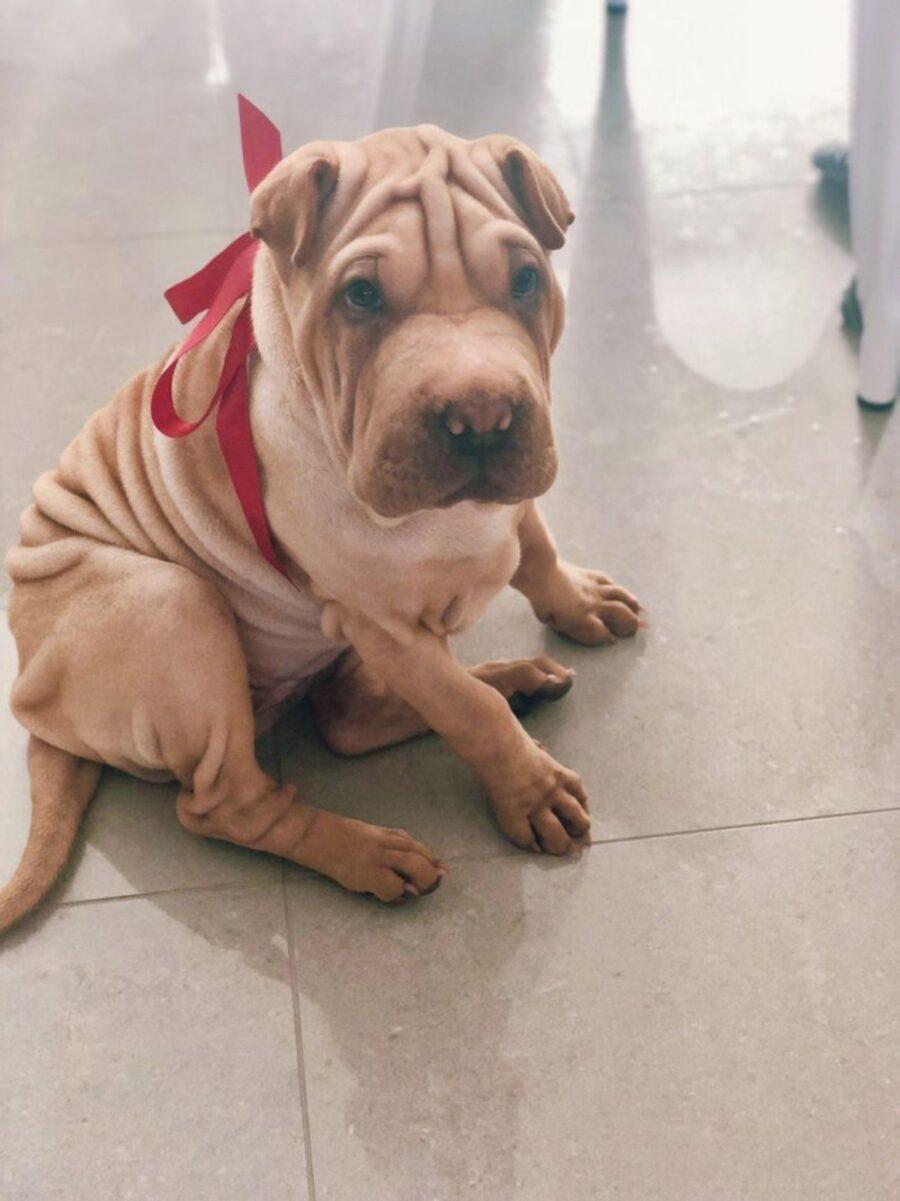 cane fiocco rosso
