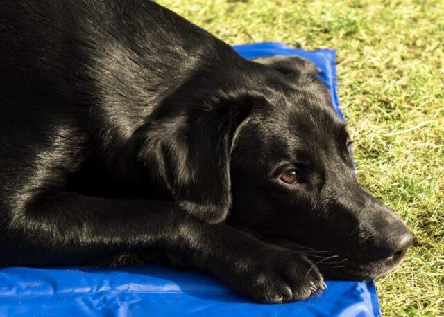 cane su tappeto rinfrescante