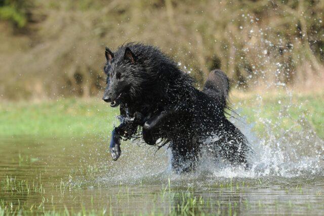 Cane nero corre nell'acqua