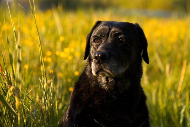 Labrador nero in un campo