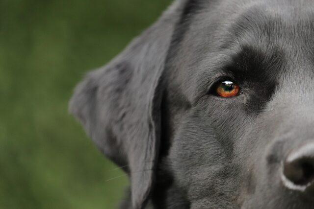 Labrador mezza testa