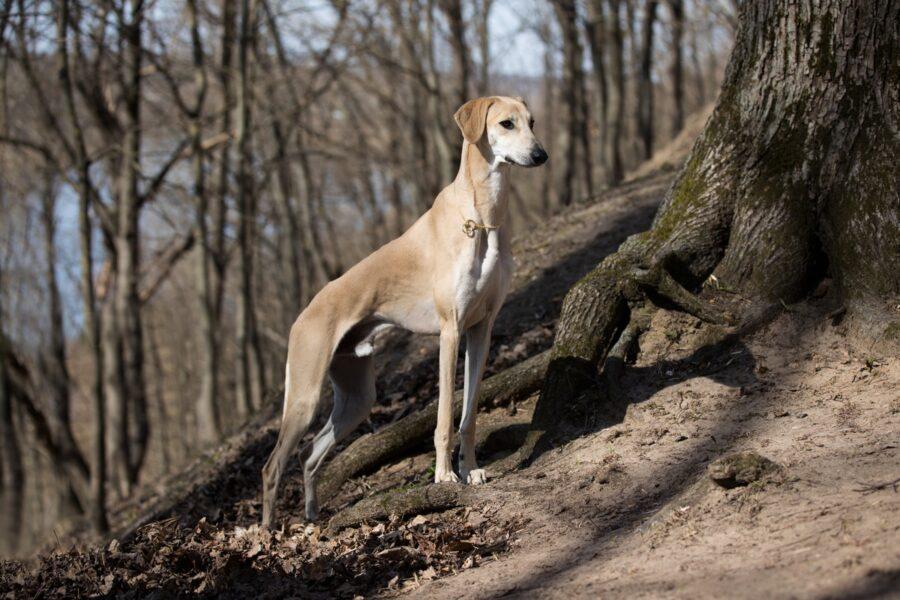 cane levriero egiziano